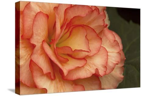 Festive Begonia I-Rita Crane-Stretched Canvas Print