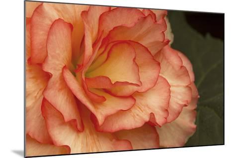 Festive Begonia I-Rita Crane-Mounted Photographic Print