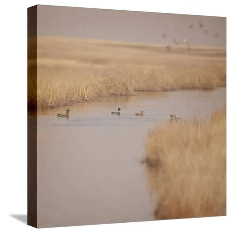 Canal Ducks-Roberta Murray-Stretched Canvas Print