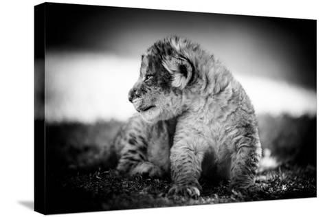 Lion Cub-Beth Wold-Stretched Canvas Print