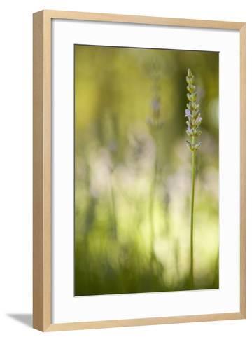 Lavender I-Karyn Millet-Framed Art Print