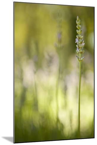 Lavender I-Karyn Millet-Mounted Photographic Print