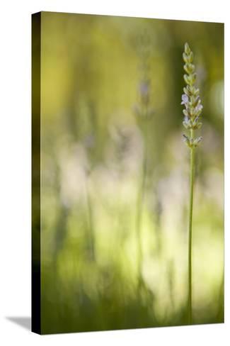 Lavender I-Karyn Millet-Stretched Canvas Print