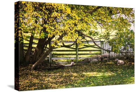 Lambs II-Alan Hausenflock-Stretched Canvas Print