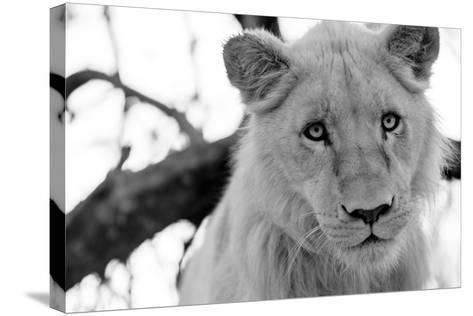 Male Lion-Beth Wold-Stretched Canvas Print