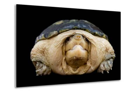 A Narrow-Bridged Musk Turtle, Claudius Angustatus.-Joel Sartore-Metal Print