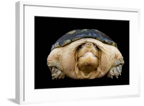 A Narrow-Bridged Musk Turtle, Claudius Angustatus.-Joel Sartore-Framed Art Print