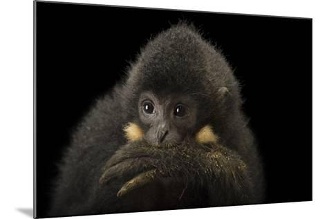 A Male Northern Buffed Cheeked Gibbon, Nomascus Annamensis.-Joel Sartore-Mounted Photographic Print