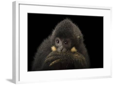 A Male Northern Buffed Cheeked Gibbon, Nomascus Annamensis.-Joel Sartore-Framed Art Print