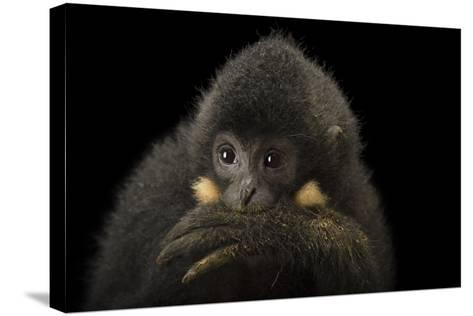 A Male Northern Buffed Cheeked Gibbon, Nomascus Annamensis.-Joel Sartore-Stretched Canvas Print