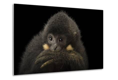 A Male Northern Buffed Cheeked Gibbon, Nomascus Annamensis.-Joel Sartore-Metal Print