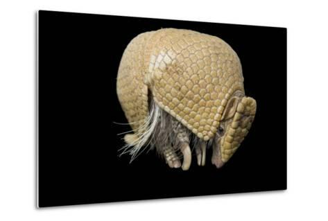 A Southern Three-Banded Armadillo, Tolypeutes Matacus, at Lincoln Children's Zoo.-Joel Sartore-Metal Print