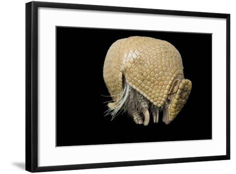 A Southern Three-Banded Armadillo, Tolypeutes Matacus, at Lincoln Children's Zoo.-Joel Sartore-Framed Art Print