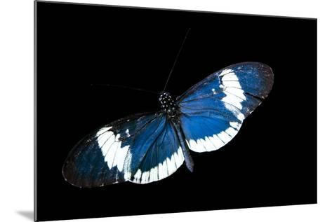 A Cydno Longwing Butterfly, Heliconius Cydno, at the Saint Louis Zoo.-Joel Sartore-Mounted Photographic Print