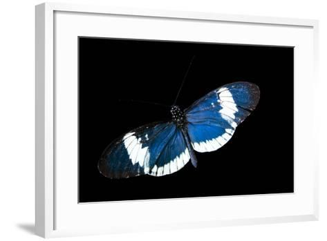 A Cydno Longwing Butterfly, Heliconius Cydno, at the Saint Louis Zoo.-Joel Sartore-Framed Art Print