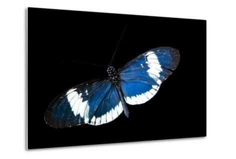 A Cydno Longwing Butterfly, Heliconius Cydno, at the Saint Louis Zoo.-Joel Sartore-Metal Print