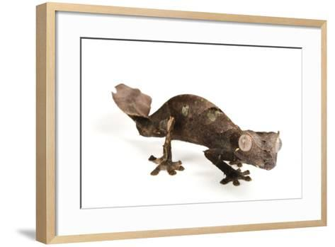 A Satanic Leaf-Tailed Gecko, Uroplatus Phantasticus, at Houston Zoo.-Joel Sartore-Framed Art Print
