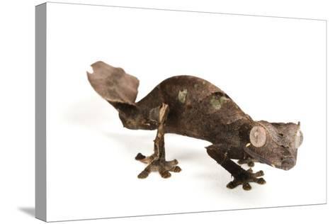 A Satanic Leaf-Tailed Gecko, Uroplatus Phantasticus, at Houston Zoo.-Joel Sartore-Stretched Canvas Print