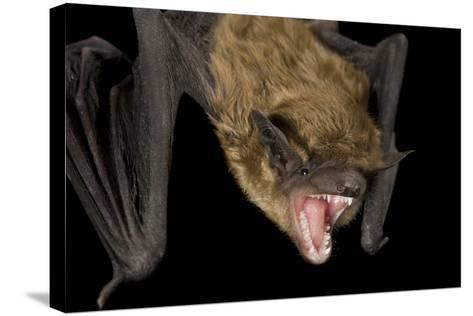 A Big Brown Bat, Eptesicus Fuscus.-Joel Sartore-Stretched Canvas Print
