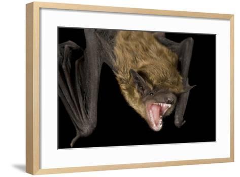 A Big Brown Bat, Eptesicus Fuscus.-Joel Sartore-Framed Art Print