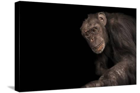 An Endangered Chimpanzee, Pan Troglodytes, at Rolling Hills Zoo.-Joel Sartore-Stretched Canvas Print