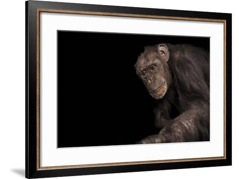 An Endangered Chimpanzee, Pan Troglodytes, at Rolling Hills Zoo.-Joel Sartore-Framed Art Print