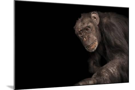 An Endangered Chimpanzee, Pan Troglodytes, at Rolling Hills Zoo.-Joel Sartore-Mounted Photographic Print