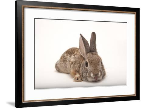 A Desert Cottontail Rabbit, Sylvilagus Audubonii.-Joel Sartore-Framed Art Print