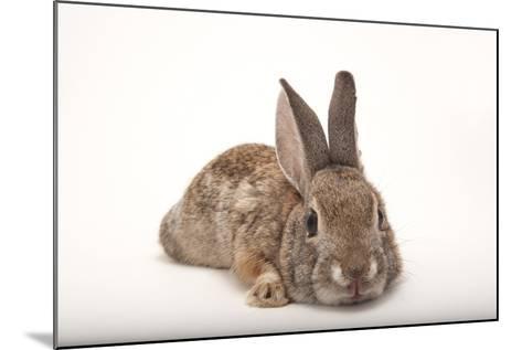 A Desert Cottontail Rabbit, Sylvilagus Audubonii.-Joel Sartore-Mounted Photographic Print