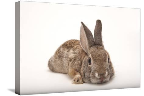 A Desert Cottontail Rabbit, Sylvilagus Audubonii.-Joel Sartore-Stretched Canvas Print