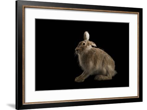 A White Tailed Jackrabbit, Lepus Townsendii.-Joel Sartore-Framed Art Print