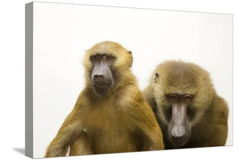 A Pair of Guinea Baboons, Papio Papio, at the Indianapolis Zoo.-Joel Sartore-Stretched Canvas Print