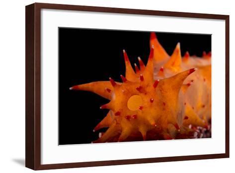 A Giant California Sea Cucumber, Parastichopus Californicus, at the Monterey Bay Aquarium.-Joel Sartore-Framed Art Print