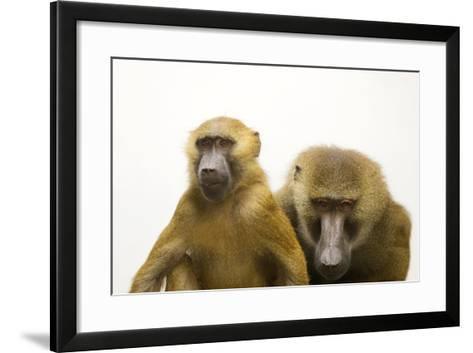 A Pair of Guinea Baboons, Papio Papio, at the Indianapolis Zoo.-Joel Sartore-Framed Art Print