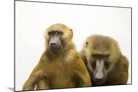 A Pair of Guinea Baboons, Papio Papio, at the Indianapolis Zoo.-Joel Sartore-Mounted Photographic Print