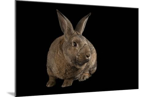 A Giant Flemish Rabbit, Oryctolagus Cuniculus, at the Fort Worth Zoo.-Joel Sartore-Mounted Photographic Print