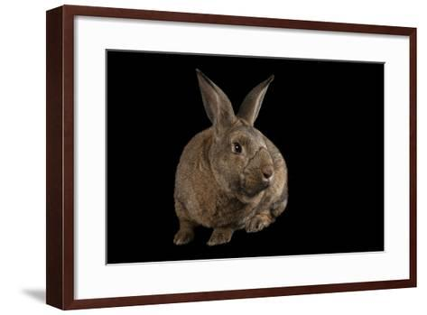 A Giant Flemish Rabbit, Oryctolagus Cuniculus, at the Fort Worth Zoo.-Joel Sartore-Framed Art Print