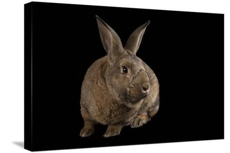 A Giant Flemish Rabbit, Oryctolagus Cuniculus, at the Fort Worth Zoo.-Joel Sartore-Stretched Canvas Print