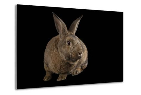 A Giant Flemish Rabbit, Oryctolagus Cuniculus, at the Fort Worth Zoo.-Joel Sartore-Metal Print