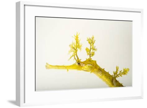 A Ribboned Pipefish, Haliichthys Taeniophorus, at the Dallas World Aquarium.-Joel Sartore-Framed Art Print
