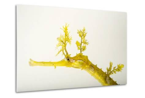 A Ribboned Pipefish, Haliichthys Taeniophorus, at the Dallas World Aquarium.-Joel Sartore-Metal Print