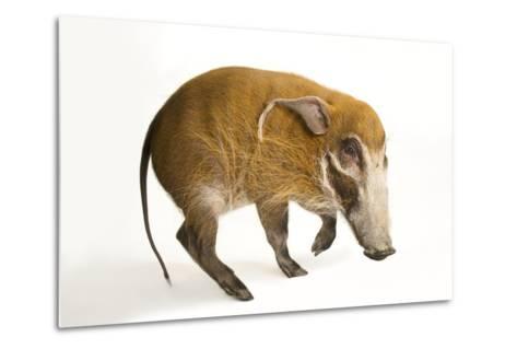 A Red River Hog, Potamochoerus Porcus, at the Cincinnati Zoo.-Joel Sartore-Metal Print