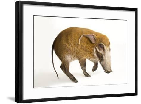 A Red River Hog, Potamochoerus Porcus, at the Cincinnati Zoo.-Joel Sartore-Framed Art Print
