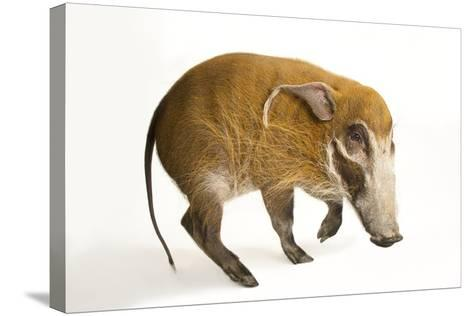 A Red River Hog, Potamochoerus Porcus, at the Cincinnati Zoo.-Joel Sartore-Stretched Canvas Print