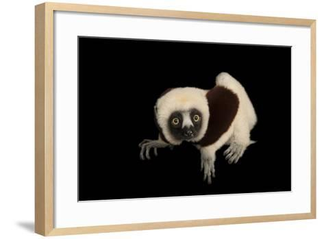 An Endangered Coquerel's Sifaka, Propithecus Coquereli, at the Houston Zoo.-Joel Sartore-Framed Art Print