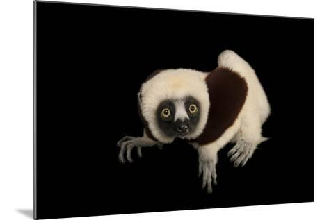 An Endangered Coquerel's Sifaka, Propithecus Coquereli, at the Houston Zoo.-Joel Sartore-Mounted Photographic Print