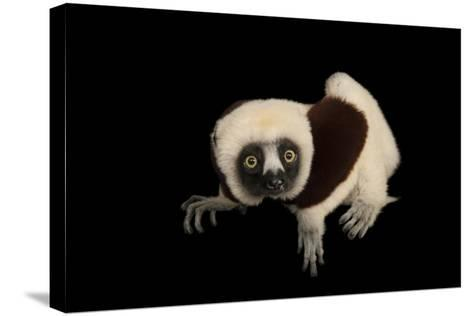 An Endangered Coquerel's Sifaka, Propithecus Coquereli, at the Houston Zoo.-Joel Sartore-Stretched Canvas Print
