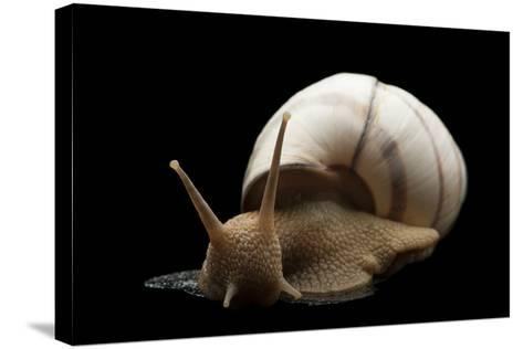 Banded Tree Snail, Orthalicus Floridensis.-Joel Sartore-Stretched Canvas Print