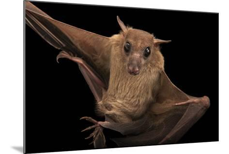 A Long-Haired Rousette, Rousettus Lanosus, at the Lincoln Children's Zoo.-Joel Sartore-Mounted Photographic Print