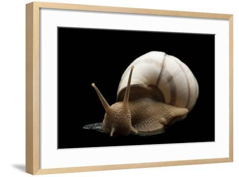 Banded Tree Snail, Orthalicus Floridensis.-Joel Sartore-Framed Art Print